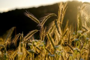 Inventor Turns Rice and Wheat into Unlikely Sources for Vitamin D